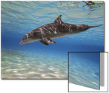 A Bottlenose Dolphin Swimming the Barrier Reef, Grand Cayman Prints by Stocktrek Images