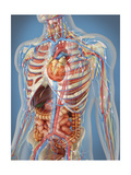 Human Body Showing Heart and Main Circulatory System Position Posters by Stocktrek Images