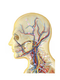 Human Face and Neck Area with Nervous System, Lymphatic System and Circulatory System Prints by Stocktrek Images