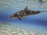 A Bottlenose Dolphin Swimming the Barrier Reef, Grand Cayman Fotografisk trykk av Stocktrek Images