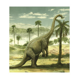 Apatosaurus Feeding on the Leaves of a Tree Prints by Stocktrek Images