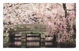 Cherry Blossoms, Mishima Taisha Shrine, Shizuoka Rug