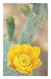 Prickly Pear Cactus in Bloom, Arizona-Sonora Desert Museum, Tucson, Arizona, USA Alfombrilla por John & Lisa Merrill