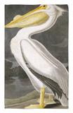 American White Pelican Rug by John James Audubon