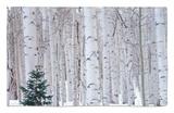 Aspen and Douglas Fir, Manti-Lasal National Forest, La Sal Mountains, Utah, USA Alfombrilla por Scott T. Smith
