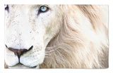 Full Frame Close Up Portrait of a Male White Lion with Blue Eyes. South Africa. Rug by Karine Aigner