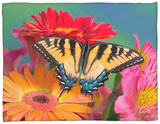 Eastern Tiger Swallowtail Female on Gerber Daisies, Sammamish, Washington, USA Fleece Blanket by Darrell Gulin