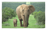 Mother and Calf, African Elephant (Loxodonta Africana), Addo National Park, South Africa, Africa Rug by Ann & Steve Toon