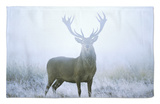 Red Deer (Cervus Elaphus) Stag at Dawn During Rut in September, UK, Europe Rug by David Tipling