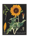 Sunflower Chart Prints by Sue Schlabach