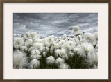 Iceland , Landmannlaugar, Flowering of Cottongrass and the Iceland Sky, Leaden and Exciting. Framed Photographic Print by Luciano Gaudenzio