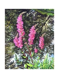 Wild Loosestrife Giclee Print by Christopher Ryland