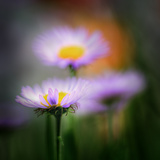 Aster Photographic Print by Ursula Abresch