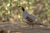 Gambels Quail. Sonoran Desert, Tucson Mts, Tucson, Arizona Photographic Print by Thomas Wiewandt