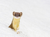 Wyoming, Sublette County, Summer Coat Long Tailed Weasel in Snowdrift Photographic Print by Elizabeth Boehm
