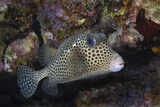 Spotted Trunkfish. Curacao, Netherlands Antilles Photographic Print by Barry Brown
