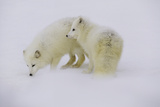 Artic Foxes Photographic Print by Art Wolfe