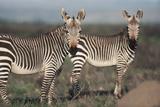 South Africa, Bontebok National Park, Cape Mountain Zebra, Equus Zebra Zebra Photographic Print by Paul Souders