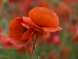 USA, North Carolina. Close Up of Poppy Photographic Print by Jaynes Gallery