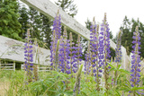 Canada, British Columbia, Vancouver Island. Lupine, Lupinus Photographic Print by Kevin Oke