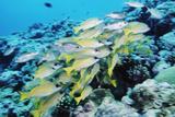 Palau, Yellowstripe Snapper, Lut Janus Kasmica Photographic Print by Stuart Westmorland