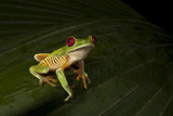 Red Eyed Leaf Frog, Rainmaker Rainforest Reserve, Costa Rica Photographic Print by Thomas Wiewandt