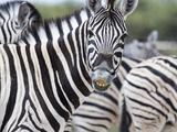 Africa, Namibia, Etosha National Park. Zebra Looking at Camera Photographic Print by Jaynes Gallery