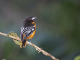 Baltimore Oriole, La Paz Waterfall Gardens, Vara Blanca, Costa Rica Photographic Print by Thomas Wiewandt