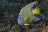 Queen Angelfish, Holacanthus Ciliaris. Curacao, Netherlands Antilles Reprodukcja zdjęcia autor Barry Brown