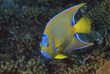 Queen Angelfish, Holacanthus Ciliaris. Curacao, Netherlands Antilles Photographic Print by Barry Brown