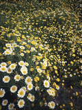 California, Spring Valley, a Field of Daisy Flowers, Asteraceae Photographic Print by Christopher Talbot Frank