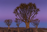 Quiver Tree, Namibia Photographic Print by Art Wolfe