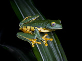 Splendid Leaf Frog. Monteverde, Costa Rica Photographic Print by Thomas Wiewandt
