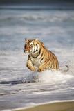 Bengal Tigers, Panthera Tigris Photographic Print by Stuart Westmorland