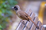 A Masked Laughing Thrush in Kowloon Park, Hong Kong Papier Photo par Richard Wright
