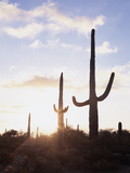 Saguaro Cacti, Carnegiea Gigantea, at Sunset in the Sonoran Desert Photographic Print by Christopher Talbot Frank