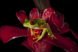 Red Eyed Leaf Frog on Red Torch Ginger. Rainmaker Reserve, Costa Rica Photographic Print by Thomas Wiewandt