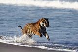 Bengal Tiger, Panthera Tigris Photographic Print by Stuart Westmorland