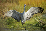 Sandhill Crane, Grus Canadensis Drying its Wings Photographic Print by Richard Wright
