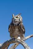 Great Horned Owl, Bubo Virginianus Photographic Print by Susan Degginger