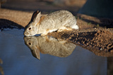 A Desert Cottontail, Sylvilagus Audubonii, Drinks at a Desert Pond Photographic Print by Richard Wright