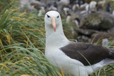 Falkland Islands. West Point Island. Black Browed Albatross Photographic Print by Inger Hogstrom