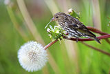 A Pine Siskin, Carduelis Pinus, Pecks Seeds from a Dandelion Photographic Print by Richard Wright