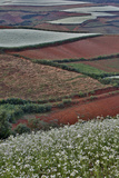 Canola and Corn Crop,Kunming Dongchuan Red Land, China Photographic Print by Darrell Gulin