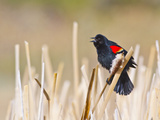 Wyoming, Sublette County, Red Winged Blackbird Singing in Marsh Photographic Print by Elizabeth Boehm