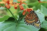 Viceroy Butterfly, Cypress Gardens, Winter Haven, Florida Photographic Print by Thomas Wiewandt