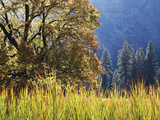 California, Sierra Nevada, Yosemite National Park, Cattails and Black Oak Photographic Print by Christopher Talbot Frank