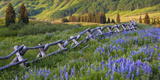 USA, Colorado. Lupines and Split Rail Fence in Meadow Photographic Print by Jaynes Gallery