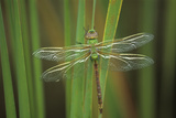 USA, Georgia. Green Darner Dragonfly on Reeds Photographic Print by Jaynes Gallery