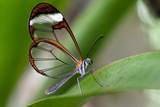 Glasswing Butterfly, Greta Oto Photographic Print by Susan Degginger